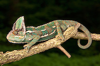 Veiled Chameleon (Chamaeleo calyptratus) climbing on tree limb, Pennsylvania, USA.  Native to Yemen and Suadi Arabia.