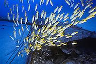 bluestripe snappers, Lutjanus kasmira, schooling at Sailboat Wreck, taape in Hawaiian, introduced species as food source, Kailua Bay, Kona Coast, Big Island, Hawaii, USA, Pacific Ocean