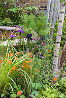 Raised bed patio garden with ornamental grasses, cosmos, irises, columbine, in late spring  or early summer garden. Birch trees