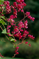 Coral vine
