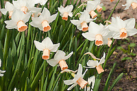 Narcissus Reggae daffodils in spring flowers Division 6 bulbs