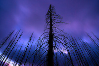 burnt trees, Hart's Pass, Washington