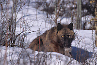 694926175 a captive black color phase gray wolf canis lupus rests in a snowbank while chewing on a deer carcass in central montana