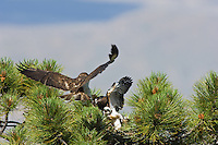 Adult Short-tailed Hawk (Buteo brachyurus) bringing prey to nest, with nestling eagerly awaiting a meal;  Arizona, (Nesting Record)