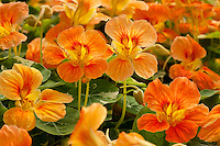 Orange Nasturtium flower Tropaeolum majus 'Alaska Apricot' at Thompson & Morgan Seeds, California Spring Trials