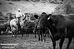 A fine art black and white image of the cows perspective of a branding. Cowboy Photos, riding,roping,horseback