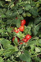 Tomatoes 'Sweet 'n' Neat' dwarf, determinate, multi-branching cherry tomato growing on plant