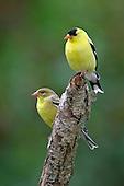 American Goldfinch pair, Ontario, Canada.
