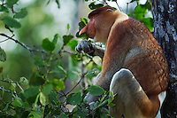Proboscis Monkey mature male sitting in a tree feeding on leaves (Nasalis larvatus), Bako National Park, Sarawak, Borneo, Malaysia.