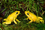 Golden poison arrow frogs,  Colombia