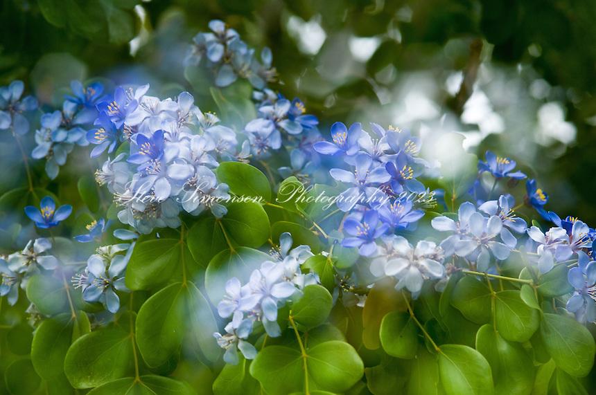Lignum Vitae blossoms
