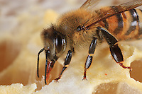 A bee sucking up honey.