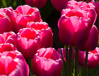 Gift card photo (set of 4) of Violet Tulips in the Sun at Woodland, WA Tulip Festival