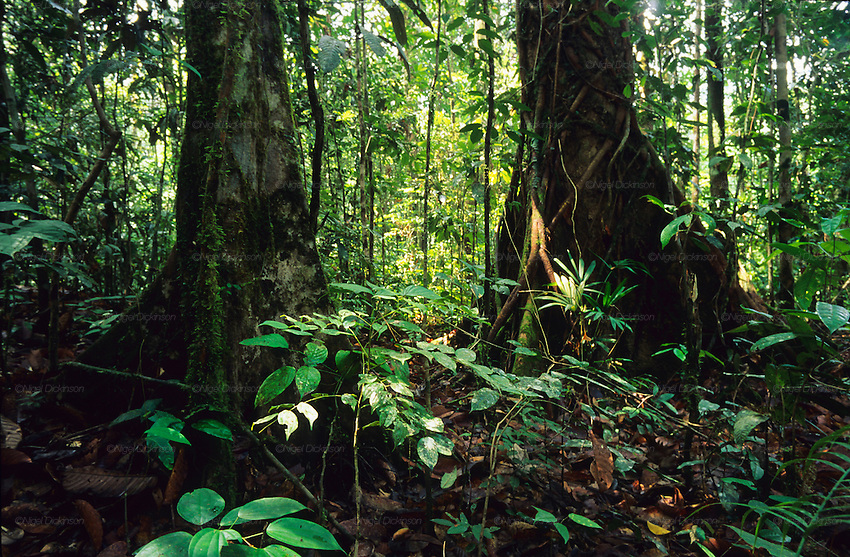 PRIMARY TROPICAL RAINFOREST, MALAYSIA. Sarawak, Borneo, South East Asia.  Interior, trees, roots, undergrowth, forest floor. Tropical rainforest and one of the world's richest, oldest eco-systems, flora and fauna, under threat from development, logging and deforestation. Home to indigenous Dayak native tribal peoples, farming by slash and burn cultivation, fishing and hunting wild boar. Home to the Penan, traditional nomadic hunter-gatherers, of whom only one thousand survive, eating roots, and hunting wild animals with blowpipes. Animists, Christians, they still practice traditional medicine from herbs and plants. Native people have mounted protests and blockades against logging concessions, many have been arrested and imprisoned.