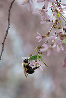 Bumble Bee insect on cherry blossom Prunus in spring flower