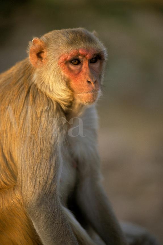India, Rajasthan, Jaipur, monkey portrait.<br />