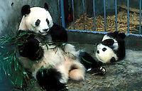China Panda Breeding