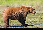 Alaskan Coastal Brown Bear Eating Salmon, Silver Salmon Creek, Lake Clark National Park, Alaska