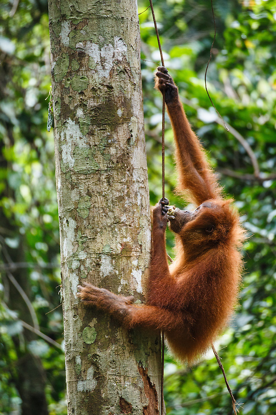 A child Sumatran orangutan (Pongo abelii) climbs a vine in Gunung Leuser National Park in Northern Sumatra.