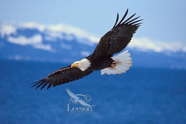 Bald Eagle (Haliaeetus leucocephalus) flying over Kachemak Bay, Alaska.  March.