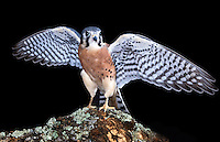 American Kestrels (Falco sparverius) are native to North and South America, captive.