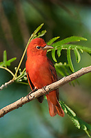 580980024 a wild male summer tanager piranga rubra songbird perches in a small tree on south padre island cameron county texas united states