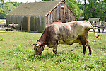 Old Bethpage, New York, U.S. 31st August 2013.  An old mottled brown and white cow is grazing in a grassy field on the farm during the Olde Time Music Weekend at Old Bethpage Village Restoration.
