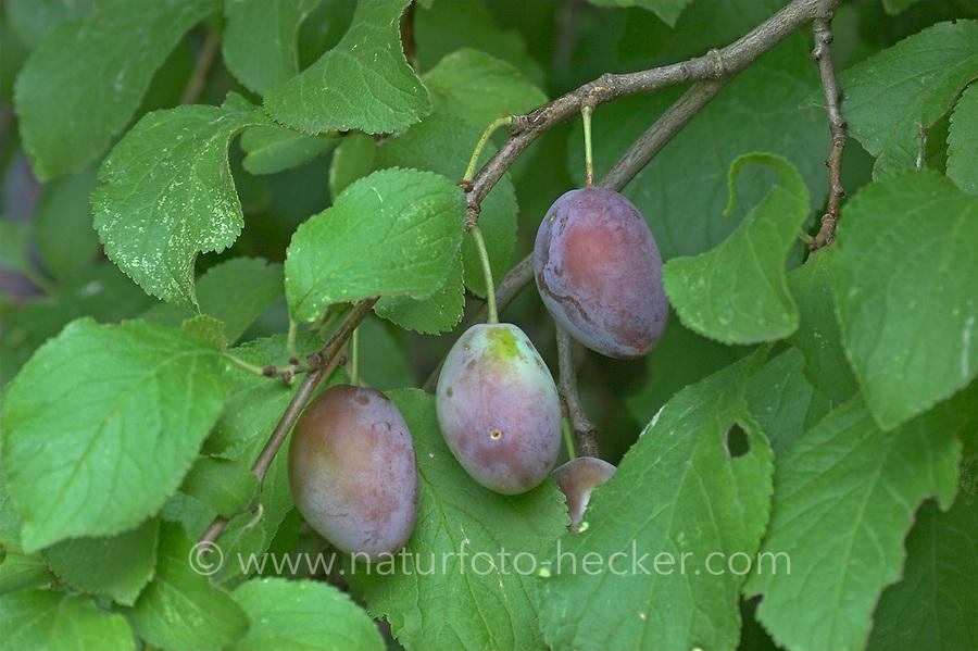 Pflaume, Zwetsche, Zwetschge, Früchte, Prunus domestica, Plum