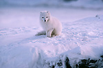 Arctic Fox sits in snow, Ellesmere Island, Canada