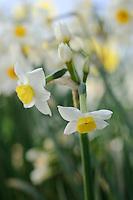 Narcissus 'Compressus'