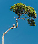 A white-bellied sea eagle keeps an eye out for lunch, perched on a tree reminiscent of a work by Dr. Suess.