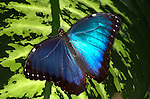 Morpho peleides Butterfly, resting on leaf with wings open, blue irridescent colour, South & Central America, flying .Belize....