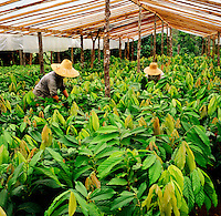 Estate cocoa nursery under plastic sheeting. Workers pruning the young bushes. Sabah, Borneo, Malaysia..