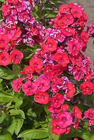 Phlox paniculata Red Flame