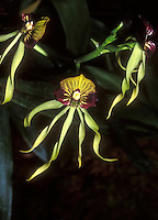 Encyclia cochleata Orchid Species (Cockleshell Orchid)