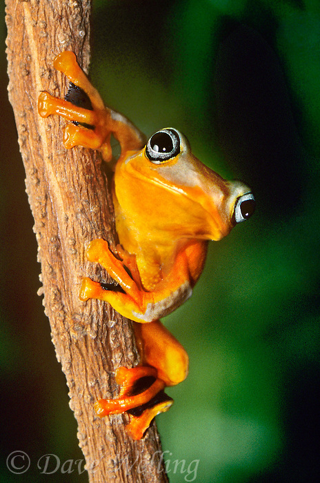 427250004 Java Gliding Frog Rachophorus reinwardti CAPT.Perched on small log.Native to Malaysia