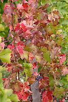 Vine leaf. Chateau Pichon Longueville Comtesse de Lalande, pauillac, Medoc, Bordeaux, France