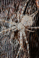 A Two-tailed Spider (Hersilia wraniki) on a tree trunk, Socotra, Yemen.