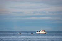Sport fishermen watch Humpback whales, Prince William Sound, southcentral, Alaska.
