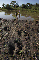 Jaguar (Panthera onca) foot prints, Pantanal, Brazil