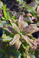 Azalea Gibraltar Rhododendron, deciduous shrub with mildew plant problem disease on leaves