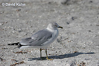 0620-0902  Ring-billed Gull, Larus delawarensis  © David Kuhn/Dwight Kuhn Photography