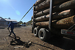 Hobart Asher gets a load of logs ready for processing at the lumber yard in Jackson, Ky. on Friday, Oct. 11, 2013. On Friday, Asher was in charge of delivering the cut logs from the logging site to the processing site. <br /> Photo by Rachael Le Goubin
