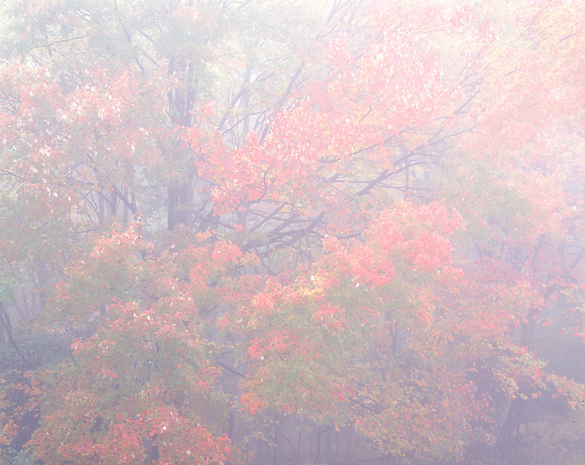 autumn maple tree in fog, Blue Ridge Parkway, NC