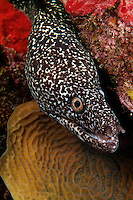 nr0341-D. Spotted Moray Eel (Gymnothorax moringa). Belize, Caribbean Sea.<br /> Photo Copyright &copy; Brandon Cole. All rights reserved worldwide.  www.brandoncole.com