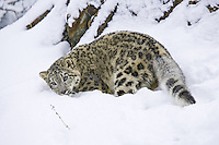 Snow Leopard lying in the snow - CA