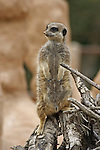 Wildlife photography, meerkats