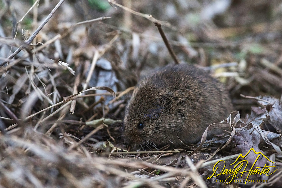 Field mouse, closeup