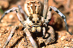 European Tarantula-Lycosa narbonensis
