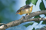 Baltimore Oriole (Icterus galbula) fledgling just out of the nest, stretching its wings, Ithaca, New York, USA<br /> Slide # B166-346